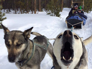 Huskies Smokey and Dan on trail pulling a dog sled
